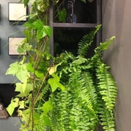 Detal regału w kolorze grafitowym z ustawionym na nim zielonymi roślinami doniczkowymi-paprotkami i bluszczem